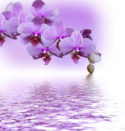 Beautiful lilac orchid flower phalaenopsis reflected in water Zdjęcie Seryjne