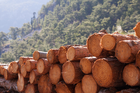 unsustainable: timber logging in pine forest, Austrian Alps