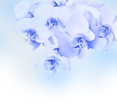 Beautiful blue orchid flower phalaenopsis with copyspace photo