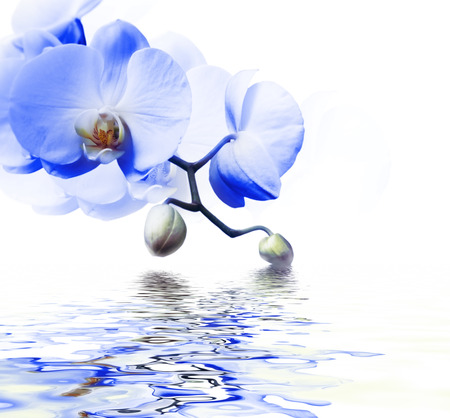 Beautiful blue orchid flower phalaenopsis reflected in water with copyspace Stock Photo
