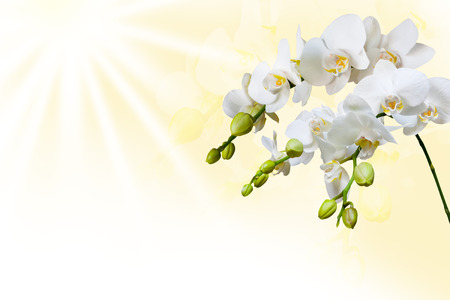 Beautiful white orchid flower phalaenopsis and sun with copyspace