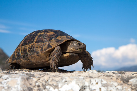 land turtle: land turtle on the old road in Turkey
