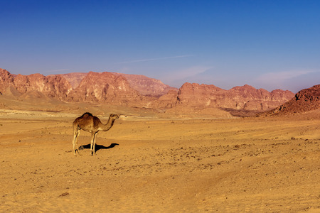 sinai desert: camel on sand in hot Sinai desert Egypt