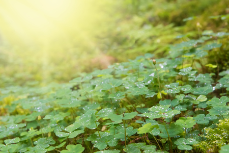 acetosella: Green background of natural fresh wet wood sorrel and sun