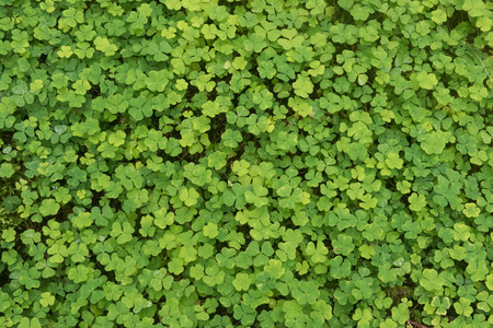 sorrel: Green background of natural fresh wet wood sorrel