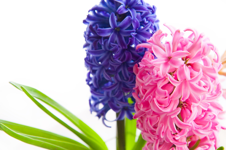 Spring blue and pink hyacinth flower on white background Stock Photo