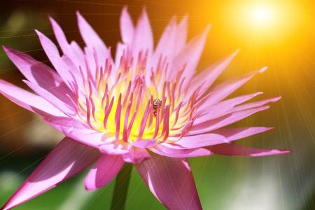 beautiful lotus flower background. Banco de Imagens