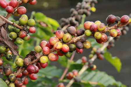 l agriculture: The coffee plantation Stock Photo