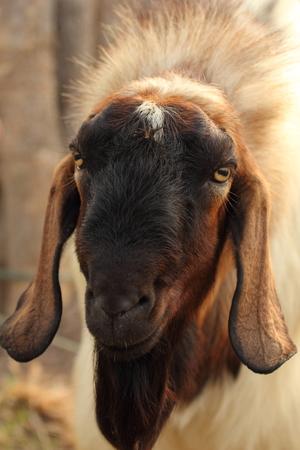 goat head: scientific name : Capra aegagrus hircus