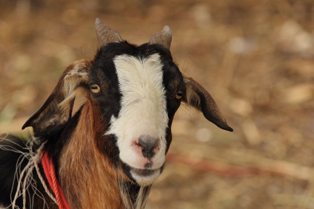 billygoat: scientific name : Capra aegagrus hircus