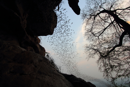 evening out: Bats fly out of the cave to eat out in the evening.