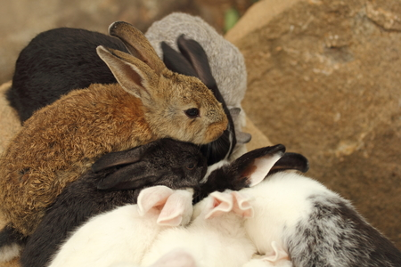unclear: Thailand native bunny rabbit is fed by the common folk. It is unclear whether any of the species. Many colors are found.