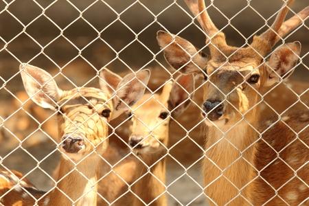 humane: scientific name : Cervus nippon Stock Photo