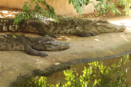 Freshwater crocodile species Thailand. scientific name : Crocodylus siamensis