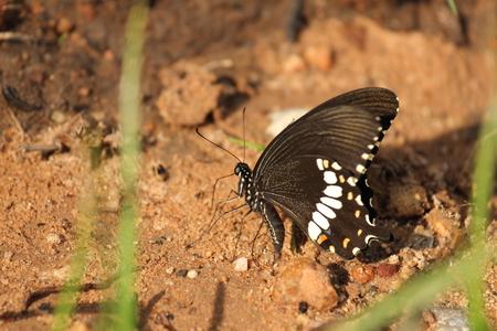 Scientific name : Papilio helenus helenus Linnaeus Stock fotó
