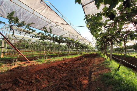 Red Wine Grape Varieties
