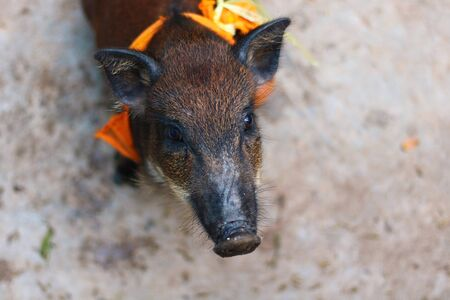 A wild boar baby that was redeemed from a hunter to a temple in Thailand Imagens