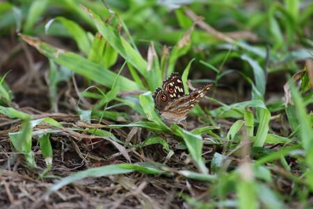 Junonia lemonias, the lemon pansy, is a common nymphalid butterfly found in Cambodia and South Asia. It is found in gardens, fallow land, and open wooded areas. Imagens - 131879114