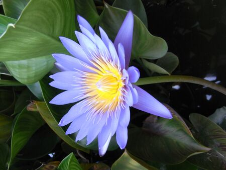 BLUE vergin light is the lotus that gives the most blue color. Is becoming popular in the European zone and the Thai market There is a growing need for this type of lotus. Since there are not many Imagens - 148322824