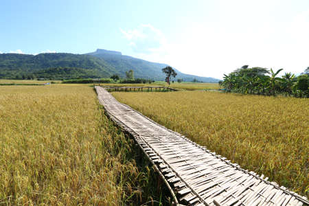 Bamboo bridge in a rice field in Phu Luang District, Loei Province, Thailand