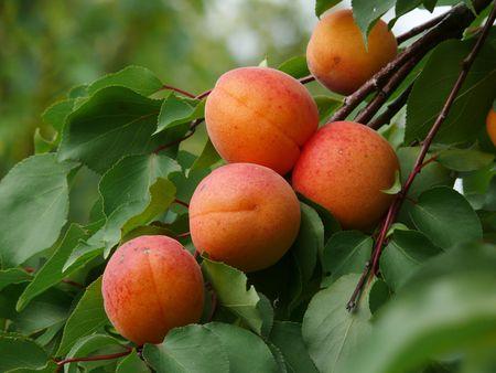 Verse abrikozen op een boom Stockfoto