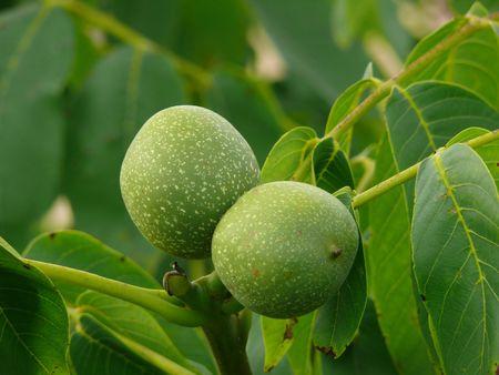 Green walnut pair between leaves photo
