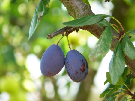 Purple plums on a tree Stock Photo - 15140941