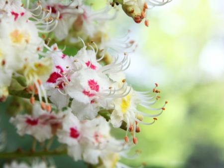 aesculus hippocastanum: Aesculus hippocastanum