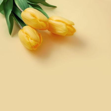 clr: Three yellow tulips on a beige background Stock Photo