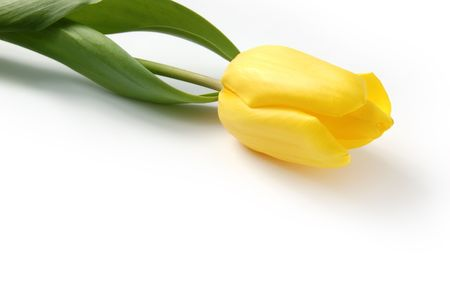clr: One yellow tulip on a white background