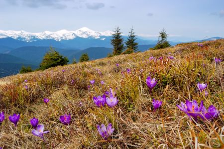 Crocuses blossoming in a mountain valley and snow-covered mountains on a background Stock Photo - 6905474