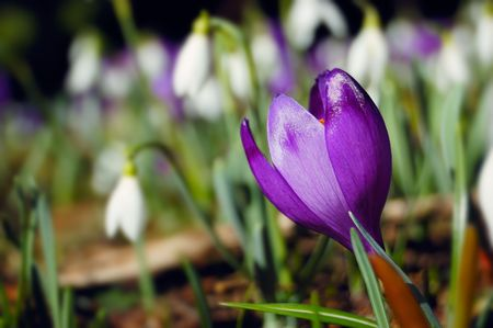 Many blossoming snowdrops and crocuses. Early spring photo