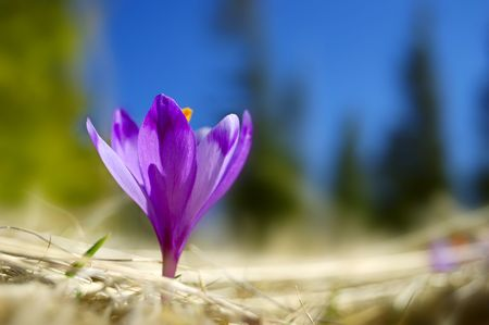 crocuses: The first flowers - Crocuses. Blossom, as soon as snow descends. The picture is made in mountains Carpathians, Ukraine. Spring.