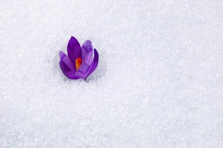 krokus: De eerste bloemen - Krokussen. Bloesem, zo snel als sneeuw daalt.