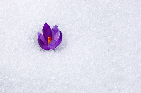 march: The first flowers - Crocuses. Blossom, as soon as snow descends. Stock Photo