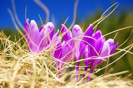 descends: The first flowers - Crocuses. Blossom, as soon as snow descends. Stock Photo