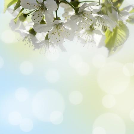 Fond naturel pour le design avec une branche en fleurs de la cerise