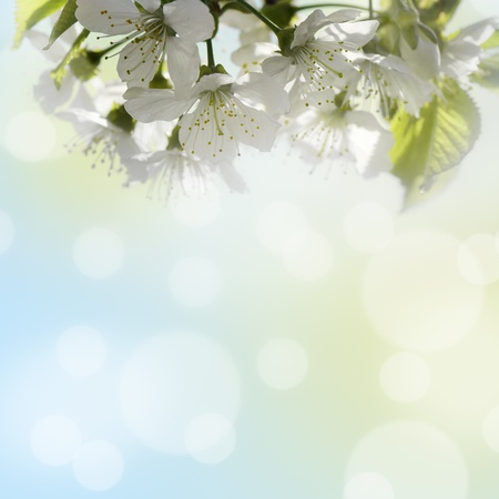 Natural background for design with a blossoming branch of a sweet cherry Stock Photo