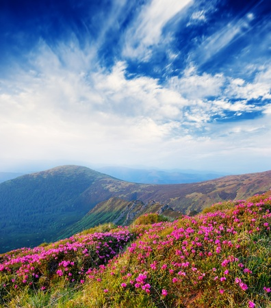 Spring landscape in mountains with Flower of a rhododendron and the sky with cloud Stok Fotoğraf