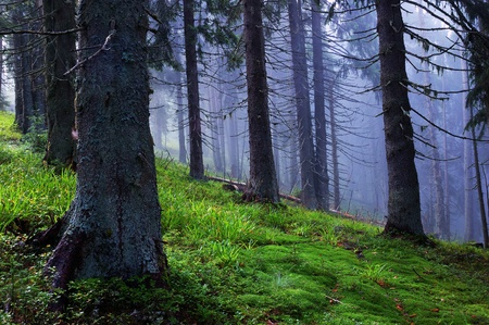 dampness: Coniferous wood in mountains after a rain