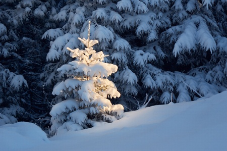 Winter background with a snow-covered wood landscape and a small fur-tree. Ukraine, Carpathians photo