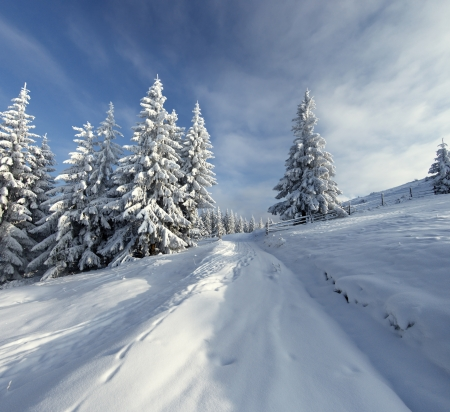 Winter landscape with fur-trees and fresh snow. Ukraine, Carpathians Stock Photo - 10910513