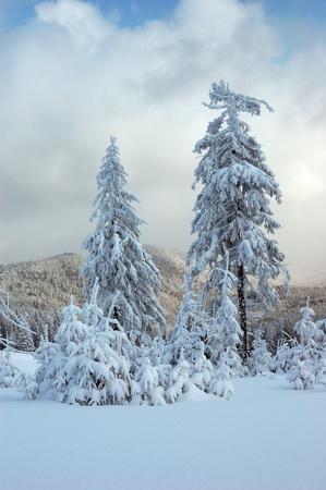 Winter landscape with fur-trees and fresh snow. Ukraine, Carpathians Stock Photo - 10910515