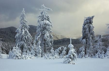 Winter landscape with fur-trees and fresh snow. Ukraine, Carpathians Stock Photo - 10910519