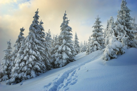 Winter landscape with fur-trees and fresh snow. Ukraine, Carpathians