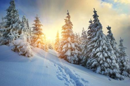 winter park: Winter landscape on a sunset. Mountains Carpathians, Ukraine