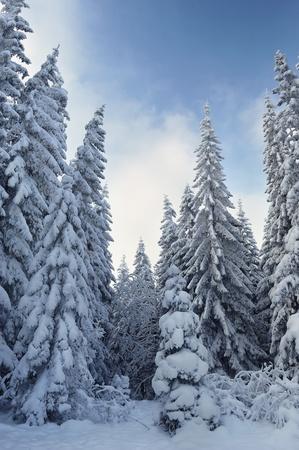 Winter landscape with fur-trees and fresh snow. Ukraine, Carpathians photo
