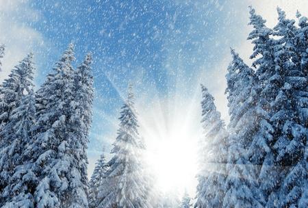 christmas scene: Winter landscape with fur-trees and fresh snow. Ukraine, Carpathians