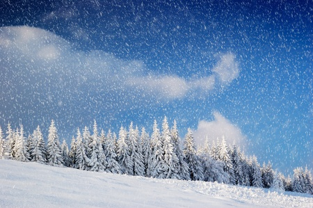 rural scenes: Winter landscape with fur-trees and fresh snow. Ukraine, Carpathians