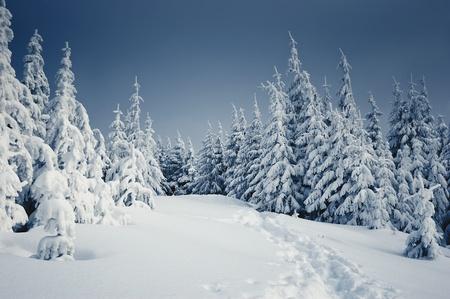 Paesaggio invernale con pelliccia alberi e neve fresca. Ucraina, Carpazi Archivio Fotografico - 11000103